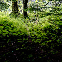 exchamsiks (Mike Ambach) Tags: canada green nature forest spring rainforest bc britishcolumbia ferns northwestbc