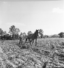 Culp Arkansas (Mennonite Church USA Archives) Tags: arkansas culp mennonitecommunityagriculturefarminganimals russellpoole