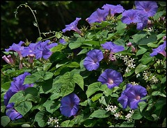 Heights Purple Blue Trumpets (oldusephemera) Tags: city blue original light shadow red portrait people favorite woman dog pet house man flower detail cute art nature face leaves weather animal yellow closeup contrast cat fence pose garden dark bench photo funny colorful child purple artistic candid best deli emotional darling bnw viral