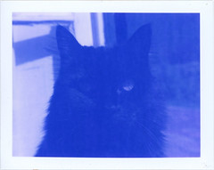 201208 80 Shodan at the window blue (sycamoretrees) Tags: film analog cat polaroid eyes landcamera packfilm model100 instantfilm automatic100 type100 closeupkit type100blue marianrainerharbach