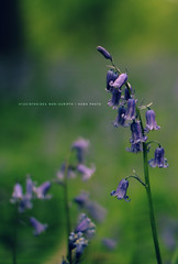 Hyacinthoides Non-Scripta (Kevin Ross Wilson) Tags: blue nature garden purple bluebell greenandpurple sigma30mmf14 hyacinthoides 1252 kuwa canon60d nonscripta moorenaturereserve 52weekchallenge 52weeksofphotography