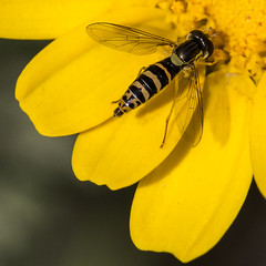 Yellow (Tasos Savva) Tags: macro nature insect bee closeups
