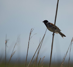 Reed Bunting - Summer 2012 (PontyCyclops) Tags: reed nature singing display reserve newport wetlands levels gwent bunting courtship rspb uskmouth