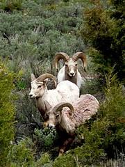 Big Horn Sheep (Spectacle Photography) Tags: yellowstone yellowstonenationalpark wyoming nps animal nature wildlife wildlifewatching wildwest wilderness wonderland nbw spectaclephotography drewparkerphotography welshphotographer britishphotographer photography