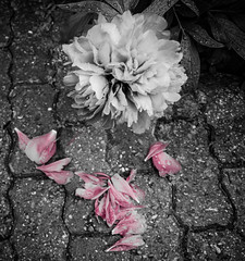 In Bloom (+ & -) Tags: pink portrait bw white black flower color water leaves rain stone contrast germany bavaria photo droplets high nikon nirvana bricks picture fallen jagged pedals carnation dslr delicate dying speckled selective inbloom lichtenau d7000