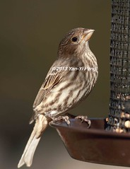 House-finch-adult-female_2930 (Warbler_King) Tags: finches housefinch illinoisbirds housefinchadultfemale