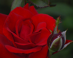 DSC_0134 (cfotos4fun-Russell) Tags: flowers roses ny newyork flower macro nature floral rose gardens garden centralpark rosegarden publicgardens rosegardens schenectady flowergarden macroflowers flowergardens flowermacro rosemacro macroflower schenectadyny macroroses cfotos4fun centralparkrosegarden centralparkschenectadyny