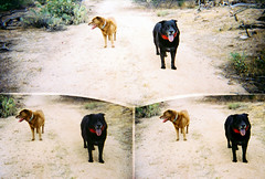 (K e v i n) Tags: arizona southwest film dogs sisters analog 35mm lucy desert az molly perros dirtroad sonorandesert marana fujisuperiaxtra400 southernarizona fujis400 southernaz 3lenses disderirobot3
