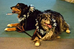 DSC_0115 (vweida) Tags: pets dogs pittsburgh therapy therapydogs kctclub