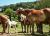 yawn (Jen MacNeill) Tags: horses horse animals rural pennsylvania farm country amish pa blonde chestnut belgian lancastercounty draft workhorse foal flaxen jennifermacneilltraylor jmacneilltraylor jennifermacneill jennifermacneillphotography