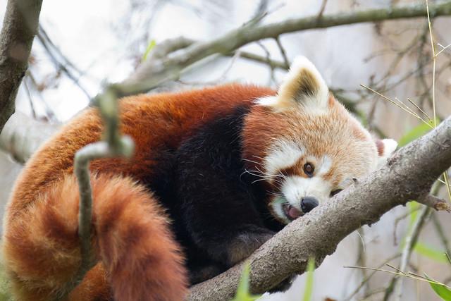 Red panda again