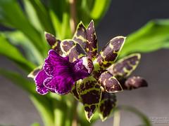 Zygo. Advance Australia blooms (J.Bower) Tags: orchid flower macro olympus bloom pacificnorthwest pnw omd zygopetalum zygo advanceaustralia 60mmmacrof28 olympusomdem5