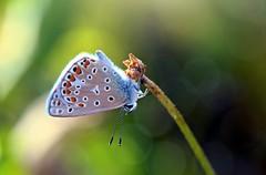 Polyommatus icarus (Ignazio Corda) Tags: butterfly papillon icarus mariposa polyommatus justnature colorphotoaward nikond300 beautifulmonsters photobyigcor