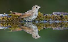 Nightingale [juvenile]