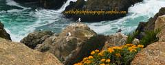 Point Reyes (Nature Photos by Scott) Tags: california cliff seagulls bird beautiful birds rock coast rocks surf waves seagull gull birding coastal pointreyes naturephotography wildlifephotography scotthelfrich scotthelfrichphotography coastalcalifornis
