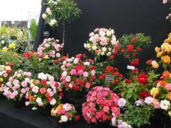 P1040135 (DEWeidmann(android phone & lconia Tab 8 W)) Tags: somerset flowershow taunton vivarypark tauntonflowershow