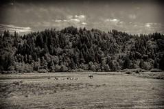 Oregon Elk (brev99) Tags: blackandwhite nik elk silverefex statehighway38 sigma1770os photoshopelements9
