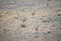 DSC_8436 (H Sinica) Tags: balloon safari hotairballoon impala masaimara maasaimara