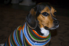 (13halla) Tags: dog cute beagle sweater