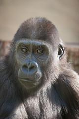 2013-09-02-14h39m37.272P5779 (A.J. Haverkamp) Tags: germany zoo gorilla stuttgart wilhelma dierentuin tano westelijkelaaglandgorilla canonef100400mmf4556lisusmlens httpwwwwilhelmade pobpragueczechrepublic dob08112011