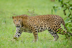 Leopard (srikaanth.sekar) Tags: india mammal nikon wildlife tiger reserve leopard gandhi nikkor karnataka kabini rajiv nagarhole 200400 d7000