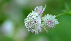 Colours & Nature (pallab seth) Tags: park summer flower macro london art artistic bokeh astrantia greatmasterwort tamronaf90mmf28dispam11macrolens d3100