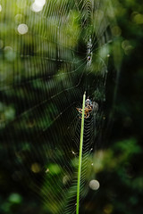 Cross spider chaining its prey (wolf4max) Tags: animal insect spider crossspider