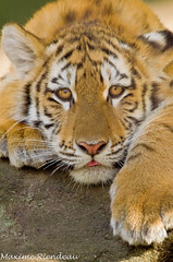 Maxime Riendeau DSC_8834 (Maxime Riendeau) Tags: baby canada quebec young québec siberiantiger tigre bébé jeune zoogranby tigredesibérie tigredelamour maximeriendeau