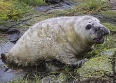Grey Seal Pup (jacsworld) Tags: sea national seal trust farneislands greyseal