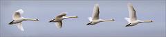 Mute Swan takeoff. (Smudge 9000) Tags: autumn england birds flying swan unitedkingdom mute oare 2013 oaremarshes swancygnusolor