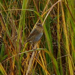 Nelson's Sparrow thumbnail