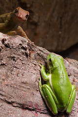 Amphibians and Lizards 2 (Mark Dumont) Tags: animals zoo reptile mark cincinnati amphibian frog dumont