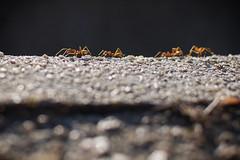 Ant (aRzMoHa) Tags: insect photography sweet ant group malaysia advertise arzmoha arzmohdhaniffaphotography preweddingpulaupinang