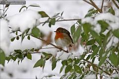 Robin (Ian Garfield - thanks for over 1 Million views!!!!) Tags: winter snow west tree robin ian photography arboretum garfield walsall midlands