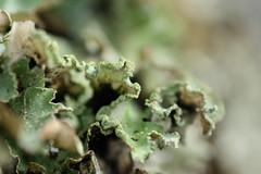 Lichen (Martre*) Tags: detail macro green lichen dtail