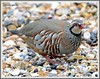 Red-legged Partridge (flickr quickr) Tags: partridges redleggedpartridge alectorisrufa gamebirds {vision}:{outdoor}=0899