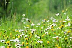 Daisies (mari-we) Tags: austria sterreich daisy tscher margeriten hochbreneck