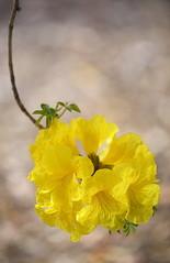 Yellow Trumpet Tree (gatorlink) Tags: nature losangeles arboretum pasadena arcadia 6d canonef180mmf35lmacrousm