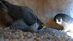 Bowing (Conserve Wildlife Foundation of NJ) Tags: bird newjersey jerseycity nj raptor avian 2014 courtship peregrinefalcon falconcam