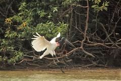 Jabiru stork on the Rupununi River in Guyana (inyathi) Tags: southamerica birds amazon rainforest guyana rivers storks rewa jabirumycteria jabirus