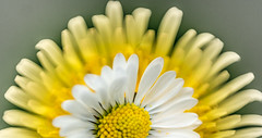 Curves (Ash if) Tags: flowers white macro green yellow sony curves dandelion bolton daisy april curve a77 2014 macromonday