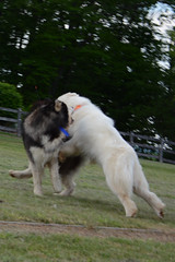 "Chase Is Pouncing On His Buddy Zarro • <a style=""font-size:0.8em;"" href=""http://www.flickr.com/photos/96196263@N07/14075684277/"" target=""_blank"">View on Flickr</a>"