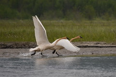 2014-147 - Takeoff (Steve Schar) Tags: bird birds alaska swan nikon haines swans 2014 trumpeterswan trumpeterswans project365 chilkatbaldeaglepreserve chilkatriver nikongp1 nikond7100