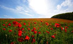 Summer Days (Explored) (Simon Verrall) Tags: flowers red summer green field landscape horizon farming meadow poppy poppies setaside