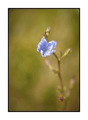 Fleur - Bokeh (Pierre_Bn) Tags: macro fleur plante bokeh sony soustons captureone alpha850