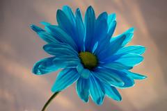 Blue Daisy Portrait 720 (Tjerger) Tags: blue portrait white plant flower macro green nature yellow closeup wisconsin grey petals spring flora head gray daisy bloom