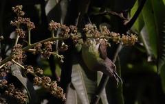 IMG_6263 (gsurya) Tags: velas beach maharashtra india birding flowerpecker