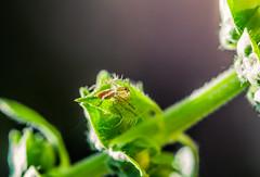 Lynx spider (Oxyopidae) (AWLancaster) Tags: spider lynx oxyopidae macro canon upclose beautiful native wildlife canon100mmmacro canonphotography 100mm garden photowalk photowalking green plantsphotography