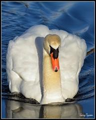 Mute Swan (GaryT48) Tags: muteswan cygnusolor pennsylvania schuylkillcounty