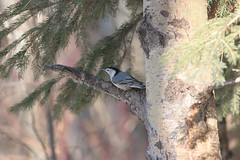 Picture 020 View Large. White-breasted Nuthatch. Hawrelak Park Edmonton (E.W. Smit Wildlife) Tags: whitebreastednuthatch nuthatch wildanimals edmontonparks travelalberta birds bird avian park hawrelakpark hawrelakparkedmonton alberta edmonton edmontonalberta canon outdoor canada wildrosecountry wildlife edmontonalbertacanada parks rivervalley tourist tourists telephotolens canonef300mmf4lisusm nature gitzo outdoors albertacanada animal animals canonef300mmf4lis ef300mmf40lis ef300mmf4lisusm